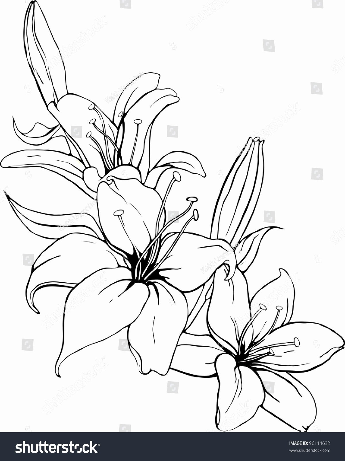 Black and White Illustration Beautiful Vector Illustration Lily In Black and White Colors