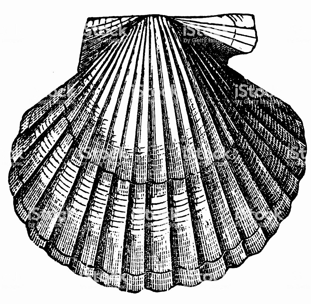Black and White Illustration Best Of Clam Shell Stock Vector Art & More Of 19th Century