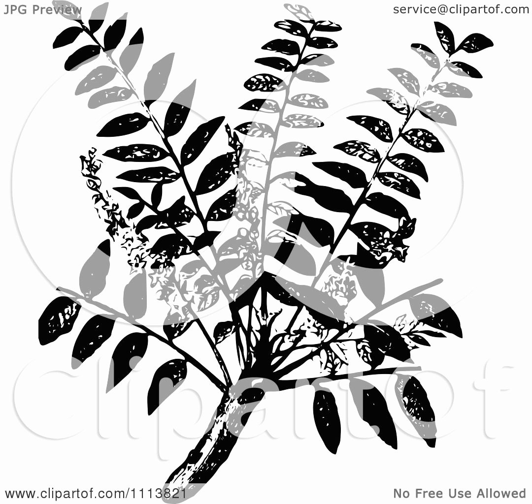 Black and White Illustration Fresh Clipart Vintage Black and White Frankincense Plant
