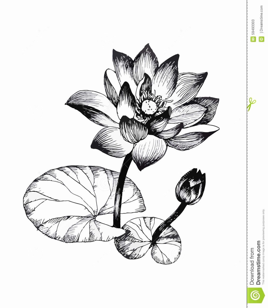 Black and White Illustration Fresh Water Lily Flowers Pond Black and White Illustration