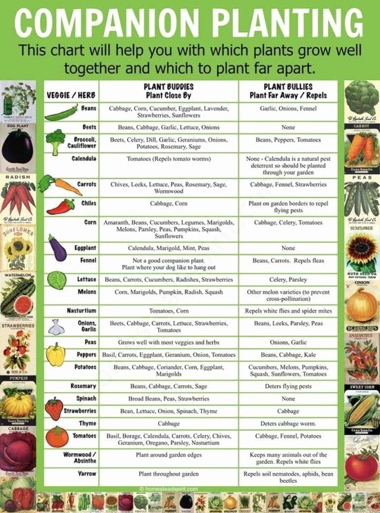 Companion Planting Chart for Vegetables Awesome Panion Planting Chart Lots Great Info Video Tutorial