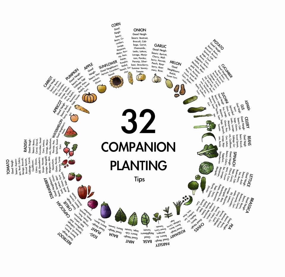 Companion Planting Chart for Vegetables Beautiful Panion Planting