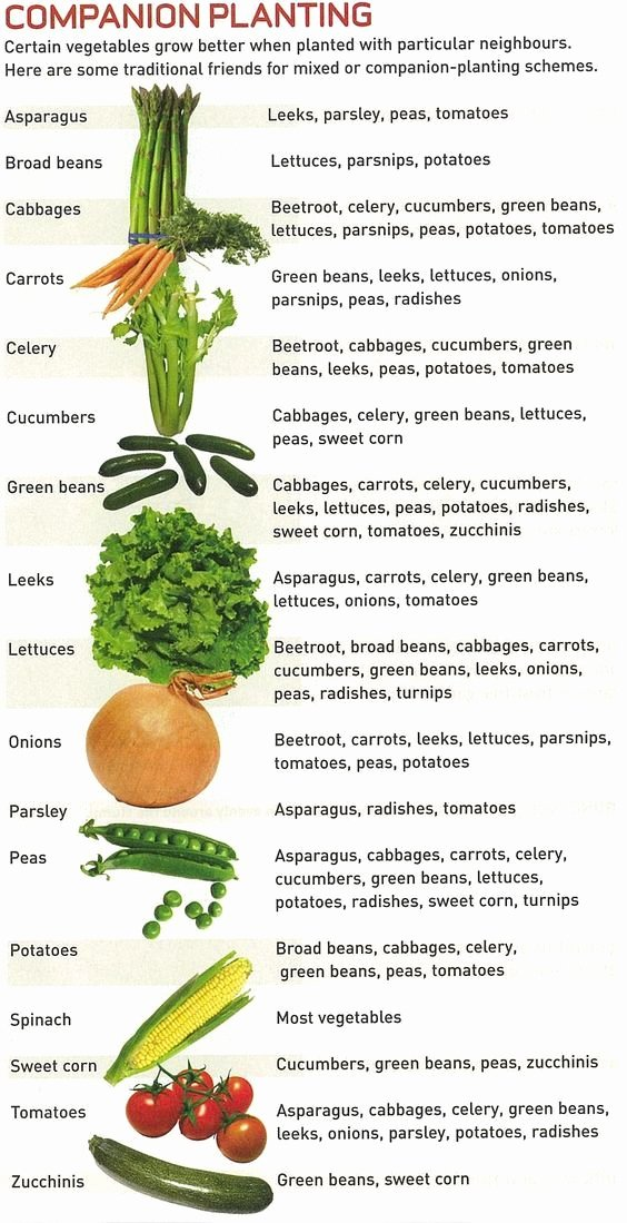 Companion Planting Chart for Vegetables Inspirational 17 Best Images About Gardening Seeds Crop Rotation and