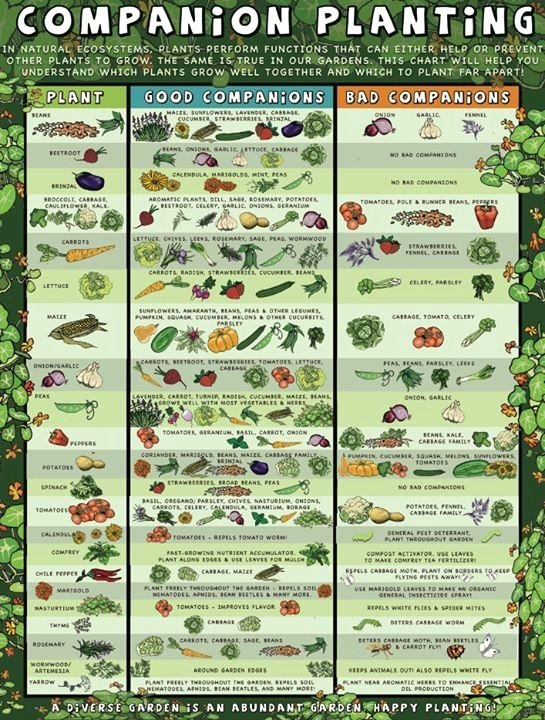 Companion Planting Chart for Vegetables Luxury Panion Planting Guide Garden