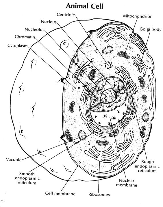 Cell Coloring Worksheets Animal Cell Coloring Key