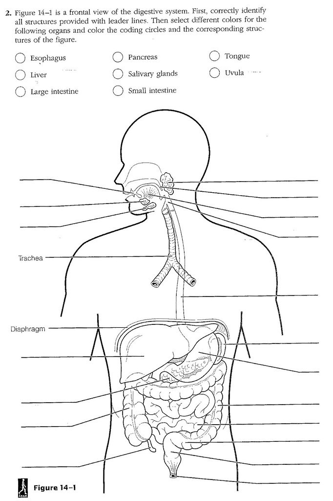 Digestive System Coloring Worksheet Blank Digestive System Diagram for Kids Diagramaica
