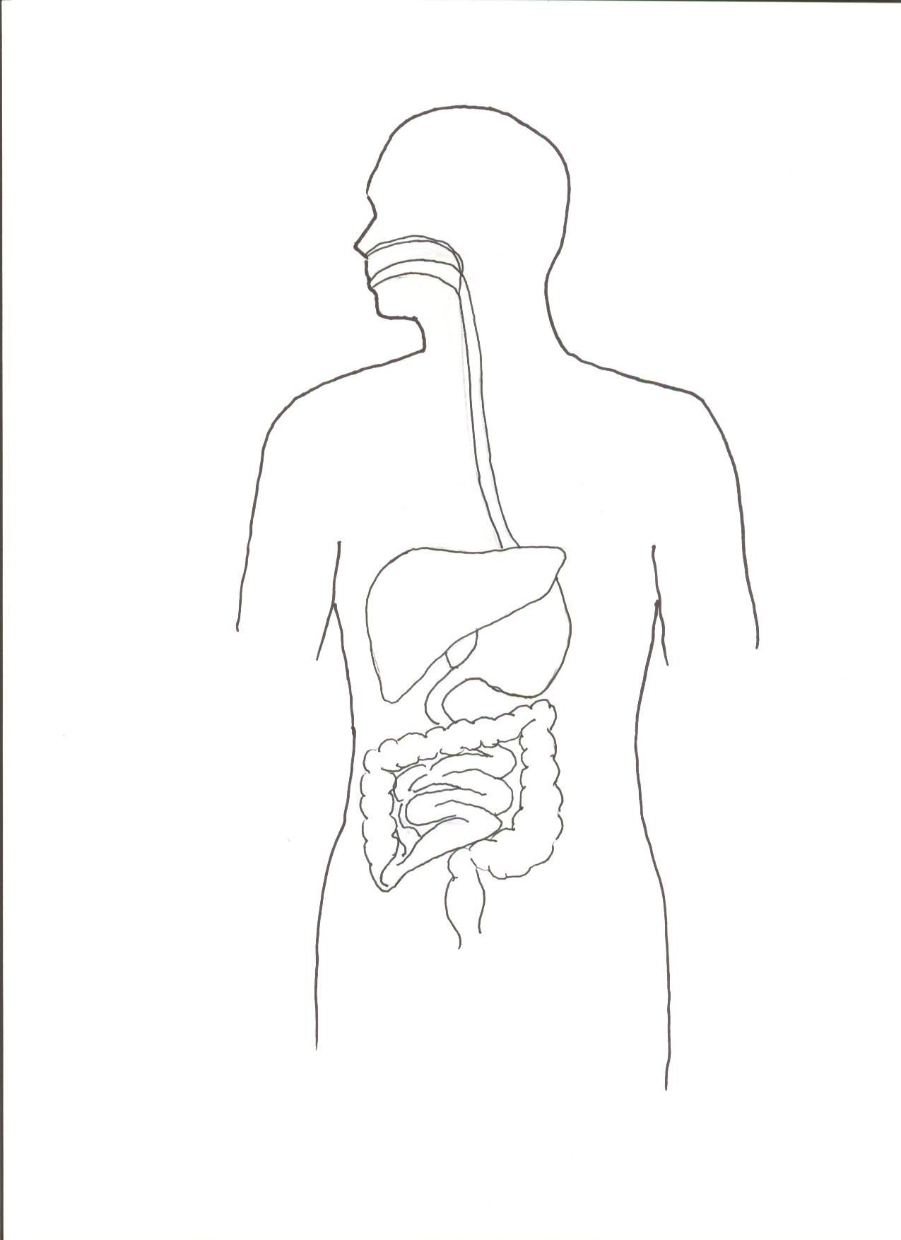 Digestive System Coloring Worksheet Digestive System Color Worksheet
