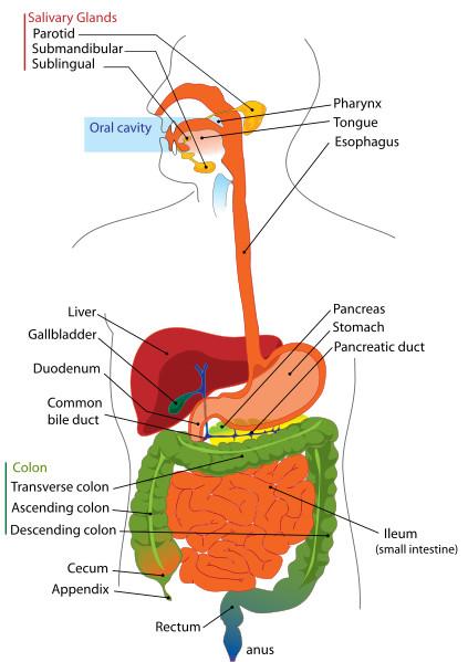 Digestive System Coloring Worksheet Digestive System