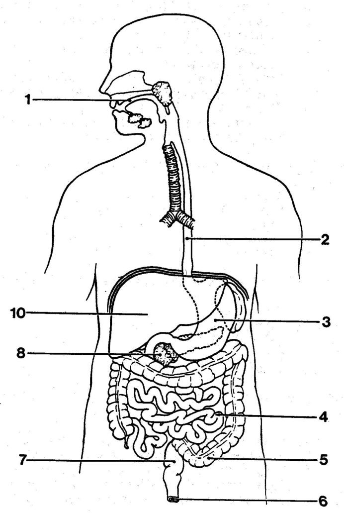 Digestive System Coloring Worksheet Readable the Human Digestive System Worksheet Sistem