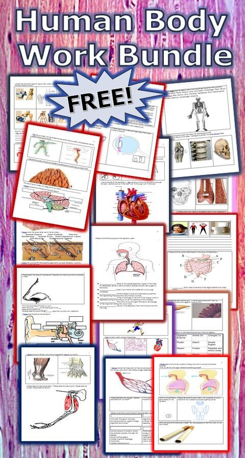 Free Printable Human Anatomy Worksheets Free Printable Human Anatomy Worksheet Pack Homeschool