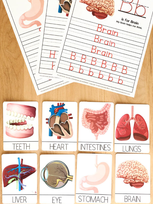 Free Printable Human Anatomy Worksheets Human Body Worksheets for Kindergarten & Up