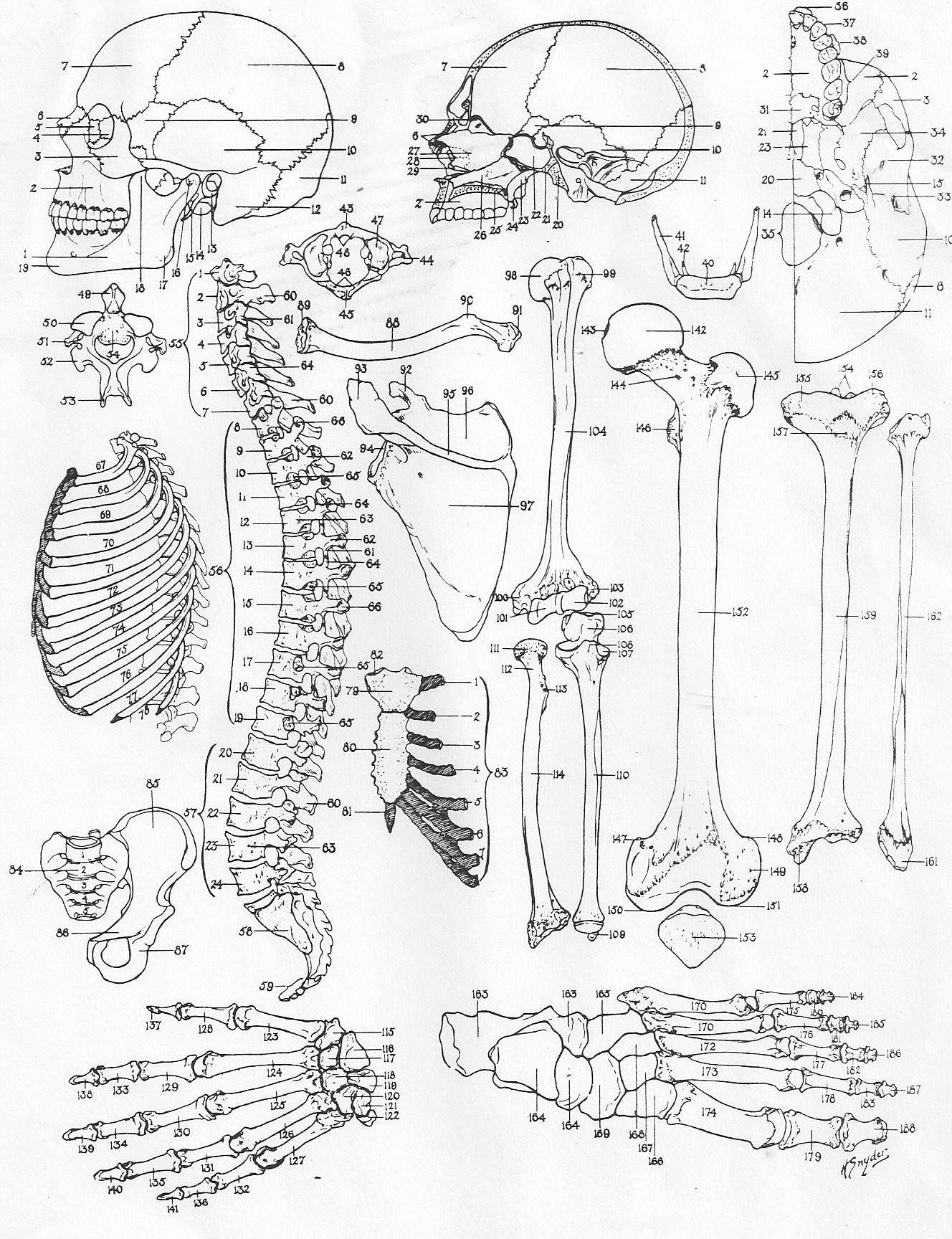 Printable Anatomy Labeling Worksheets Anatomy Bones Fill In the Blank Worksheet