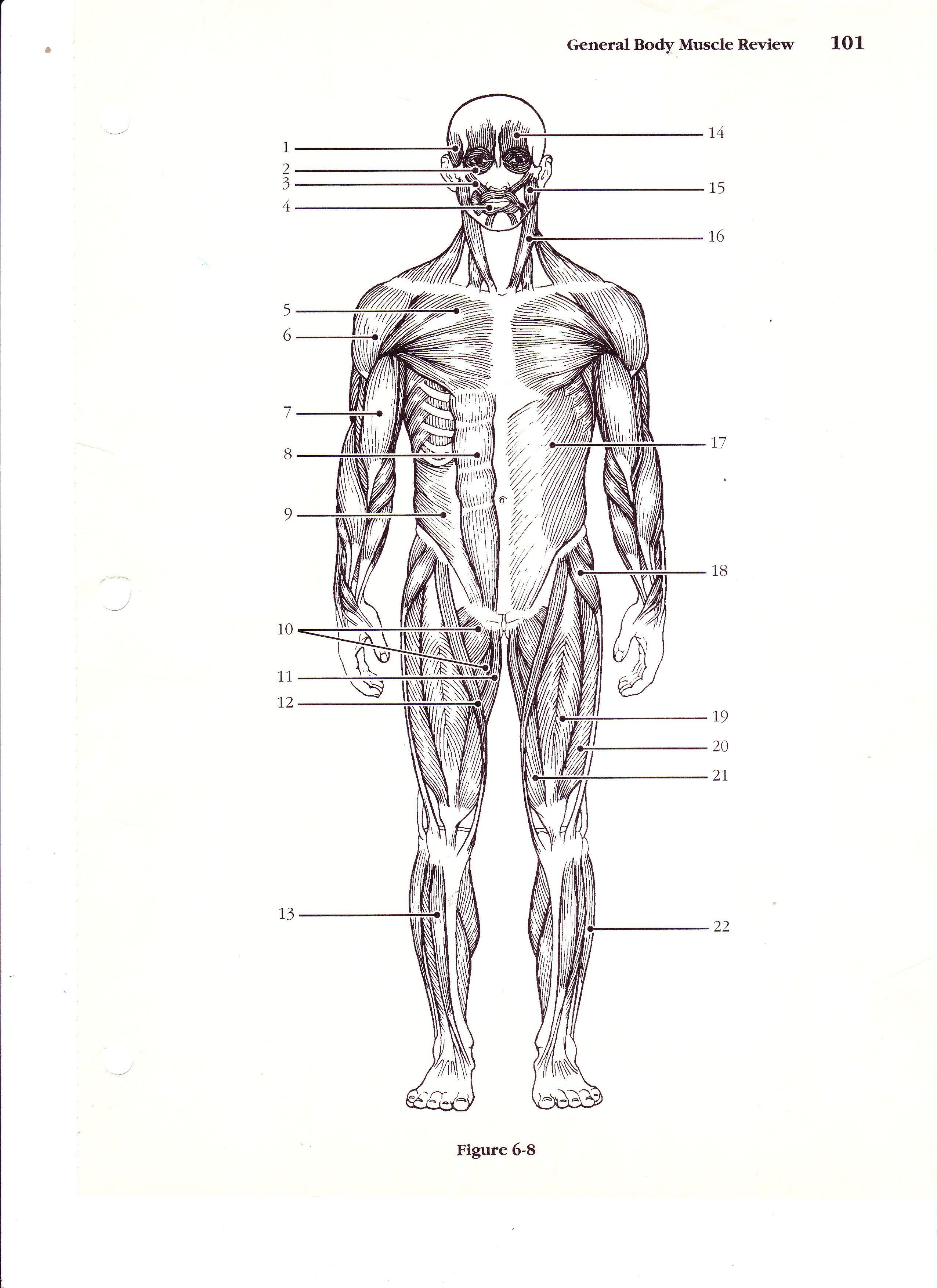 Printable Anatomy Labeling Worksheets Anterior the Human Body Worksheet