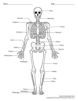 Printable Anatomy Labeling Worksheets Free Unlabeled Skeleton Printout