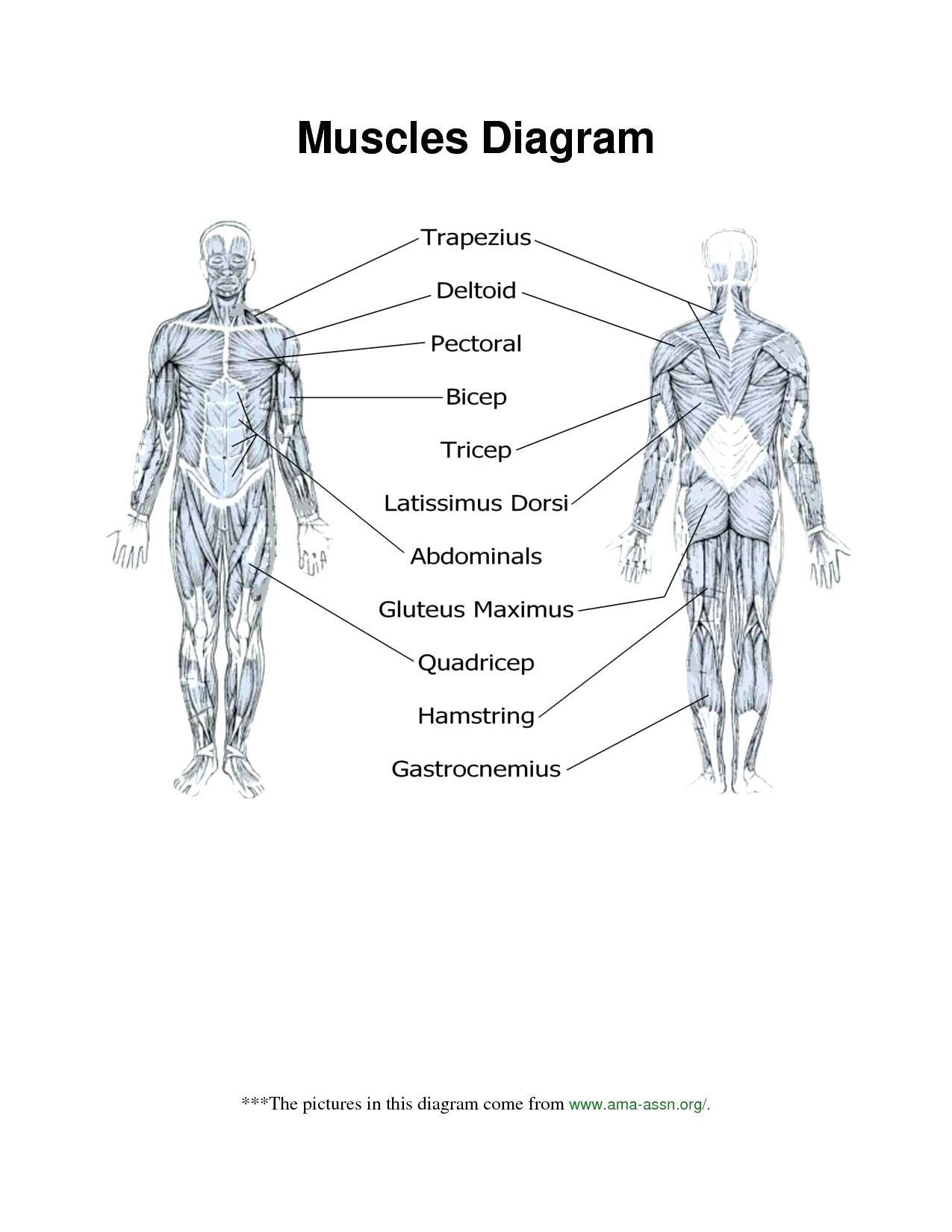 Printable Anatomy Labeling Worksheets Muscle Diagram Blank Human Body Anatomy