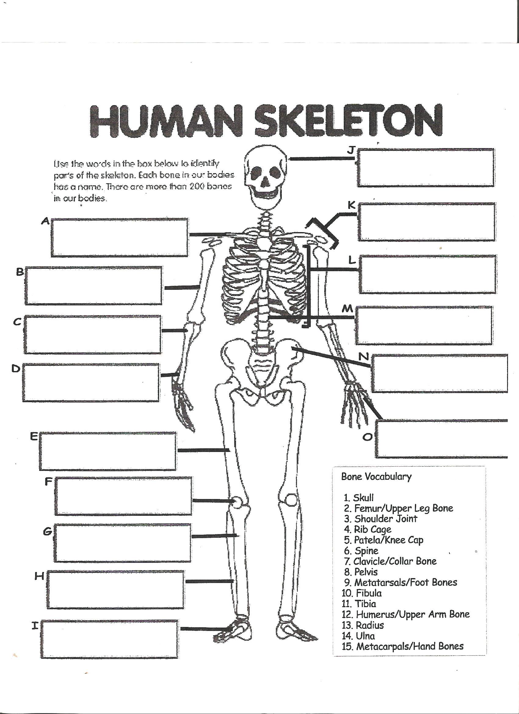 Printable Anatomy Labeling Worksheets Printable Human Bones