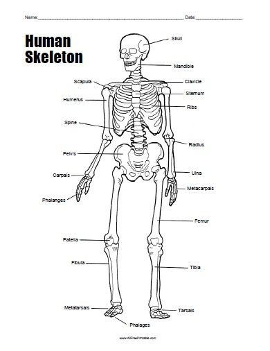 Printable Anatomy Worksheets Free Printable Human Skeleton Worksheet