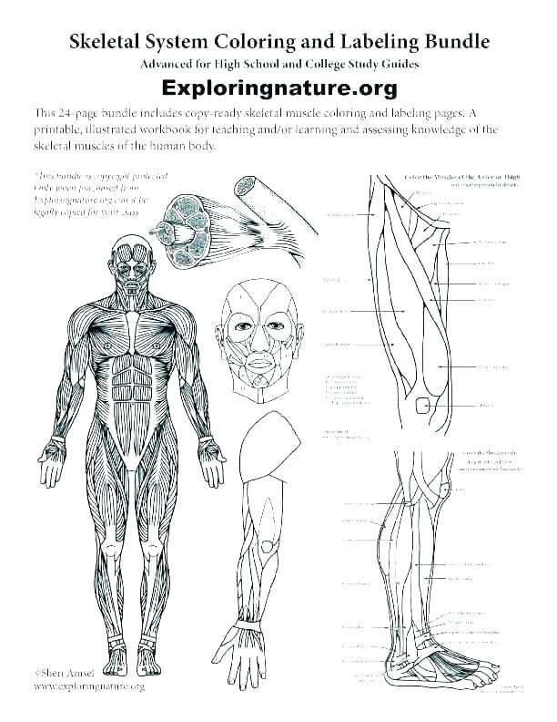 Printable Anatomy Worksheets Human Anatomy Worksheets Printable College Skeletal for