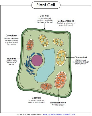 Printable Cell Worksheets Animal and Plant Cell Worksheets