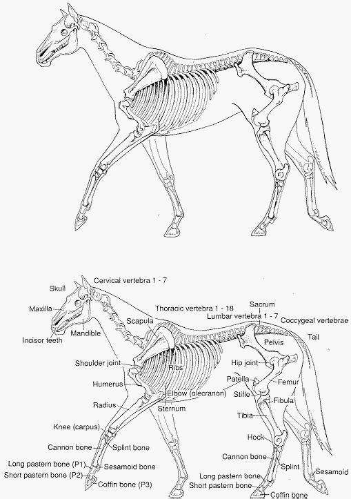 Printable Horse Anatomy Worksheets Horse Anatomy Think Like A Horse Rick Gore