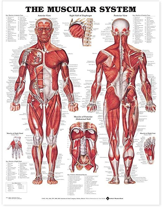 Printable Muscle Diagram Amazon the Muscular System Anatomical Chart Laminated