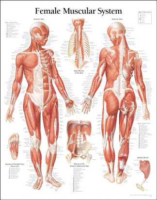 Printable Muscle Diagram Bbc Human Body Muscles
