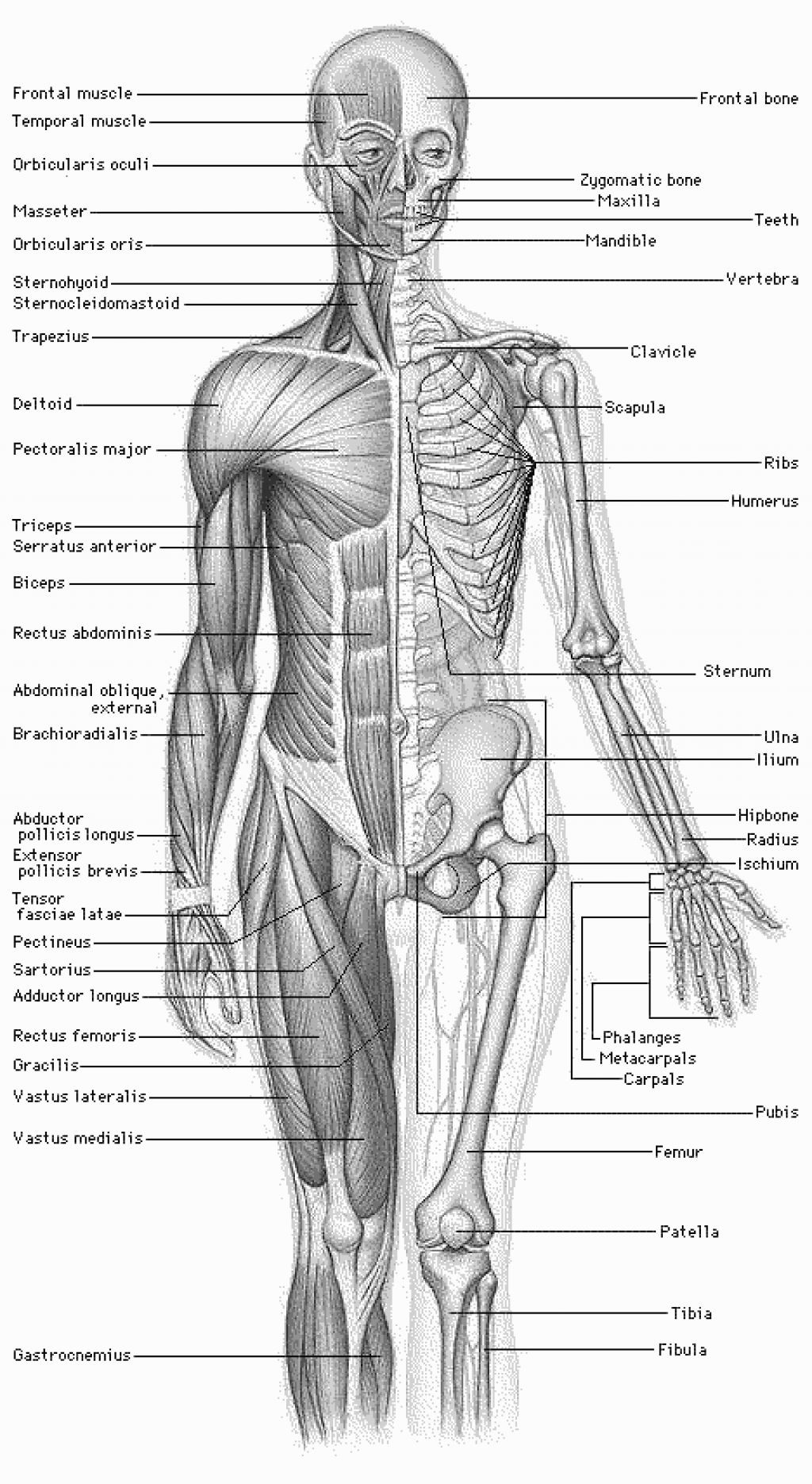 Printable Muscle Diagram Human Food Muscle Anatomy Human Anatomy Body