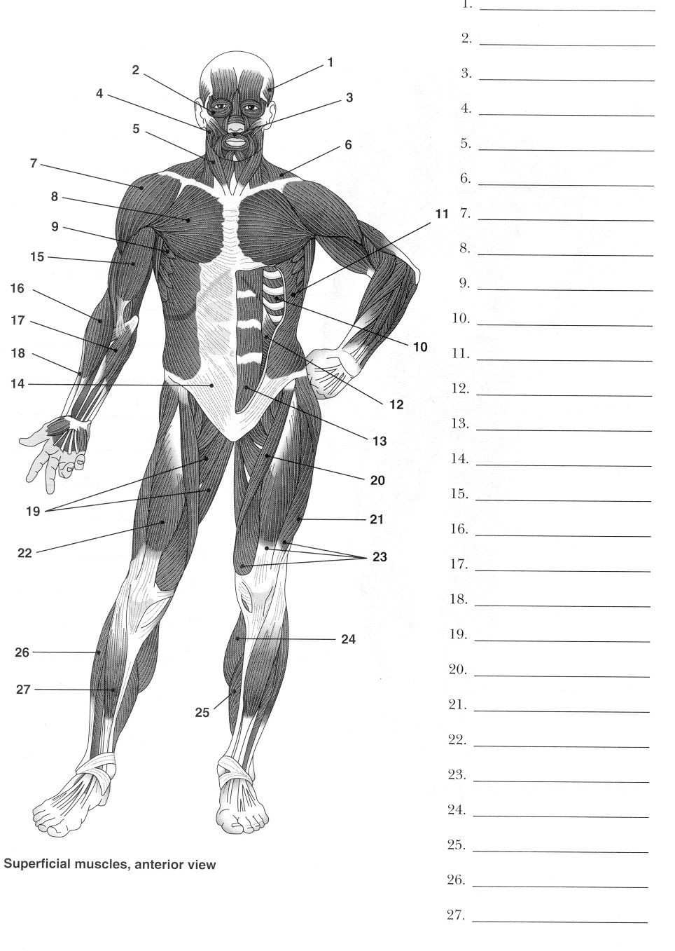 Printable Muscle Diagram Muscle Anatomy Printable Muscle Diagram Worksheet the