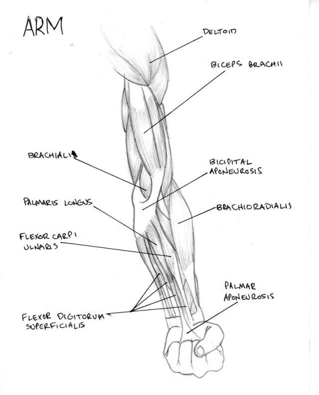 Printable Muscle Diagram Muscle Arm Diagram