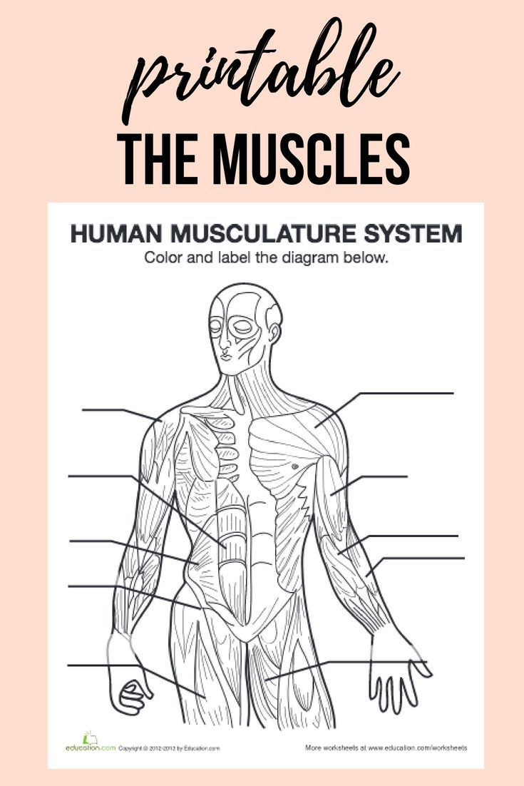Printable Muscle Diagram Muscle Diagram