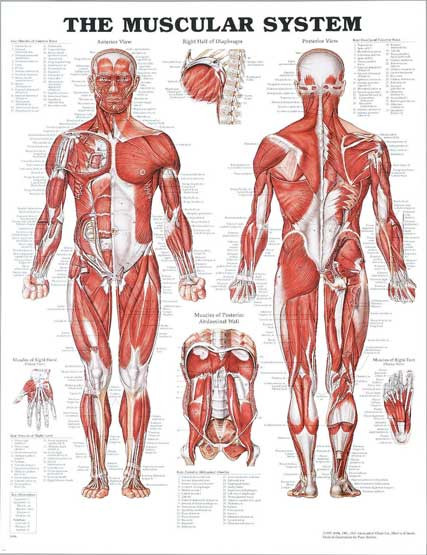 Printable Muscle Diagram Muscular System Diagram Unlabeled