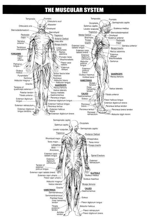 Printable Muscle Diagram Muscular System Worksheets