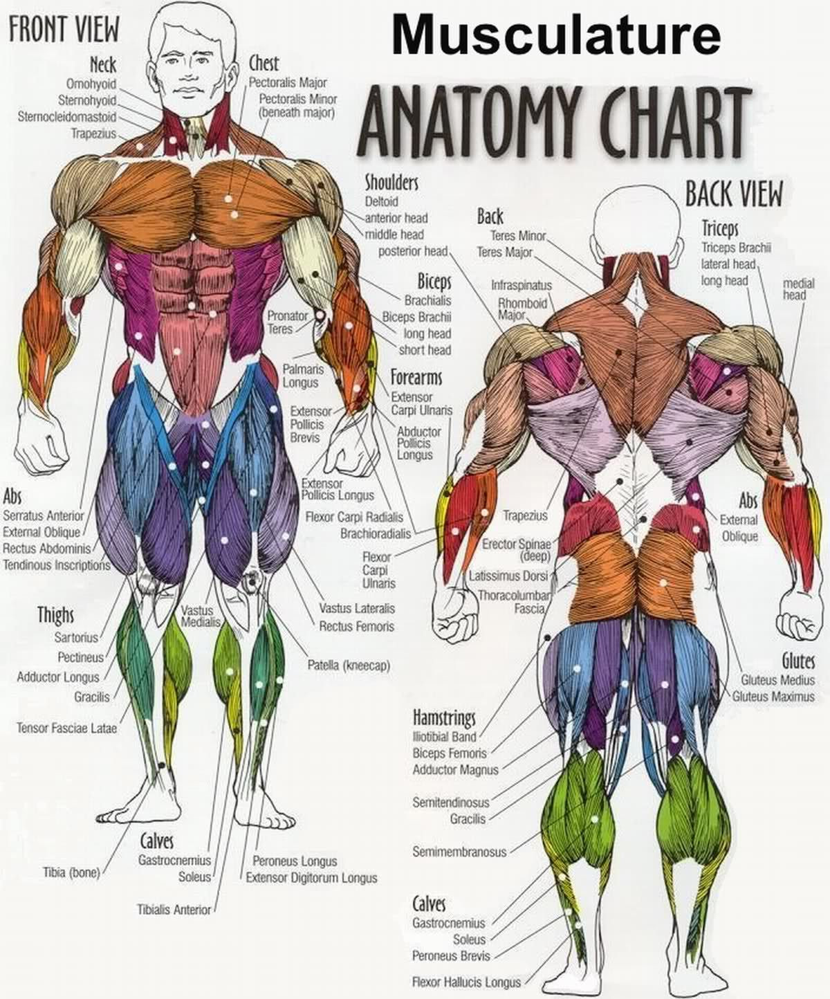Printable Muscle Diagram Printable Muscle Diagram Human Body