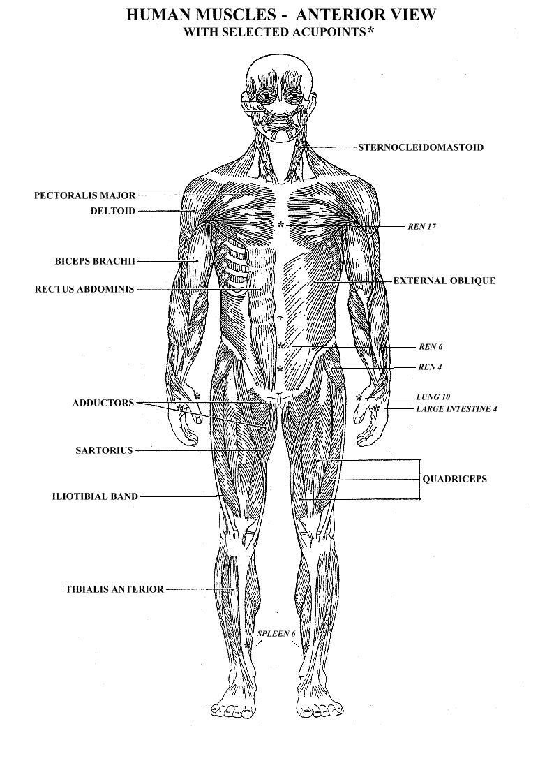 Printable Muscle Diagram Printable Muscular System Diagram