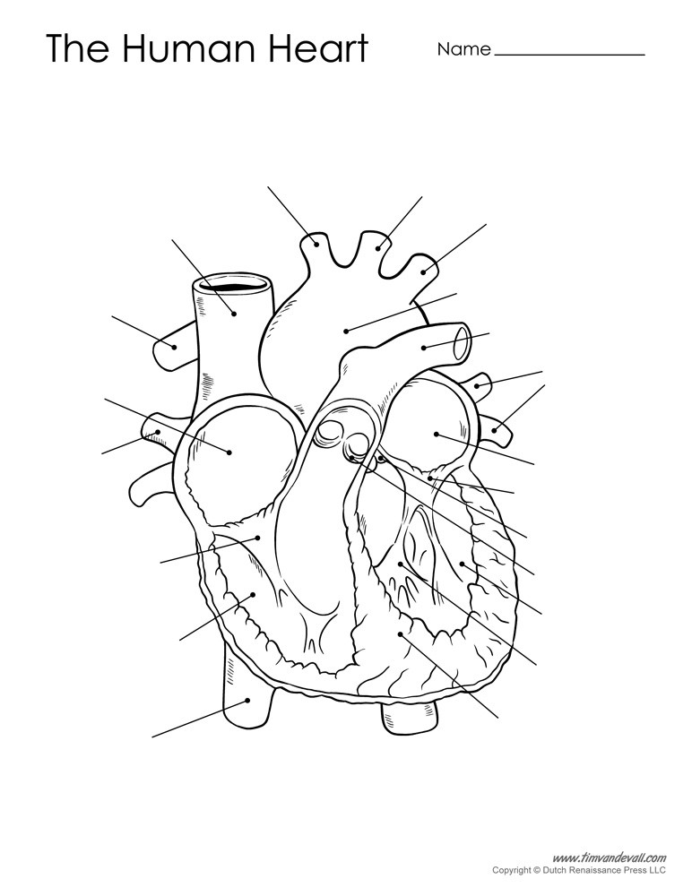 Printable Heart Diagram Human Heart Diagram Unlabeled Black and White Tim S Printables