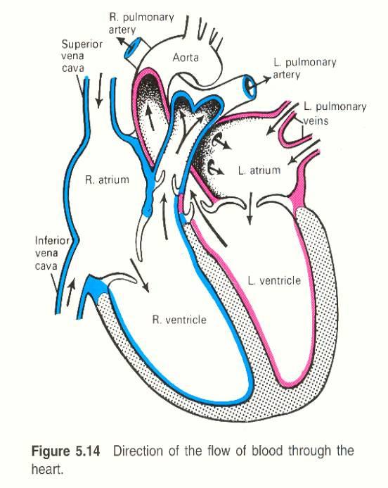 Printable Heart Diagram Rc 2731] Simple Heart Diagram for Kids Simple Heart Diagram
